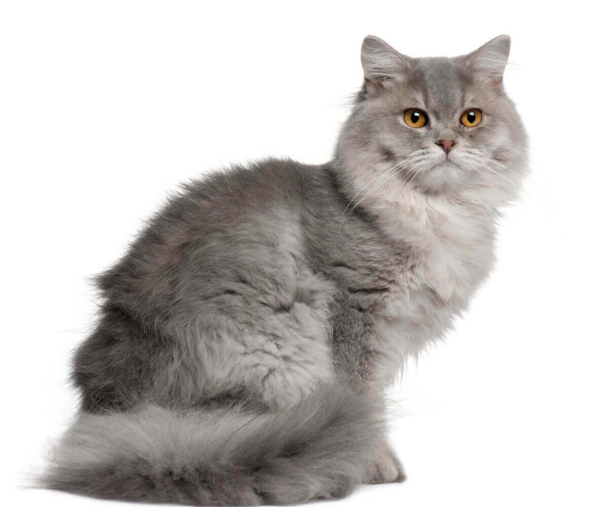 Um gato inglês de pelo longo em um fundo branco.