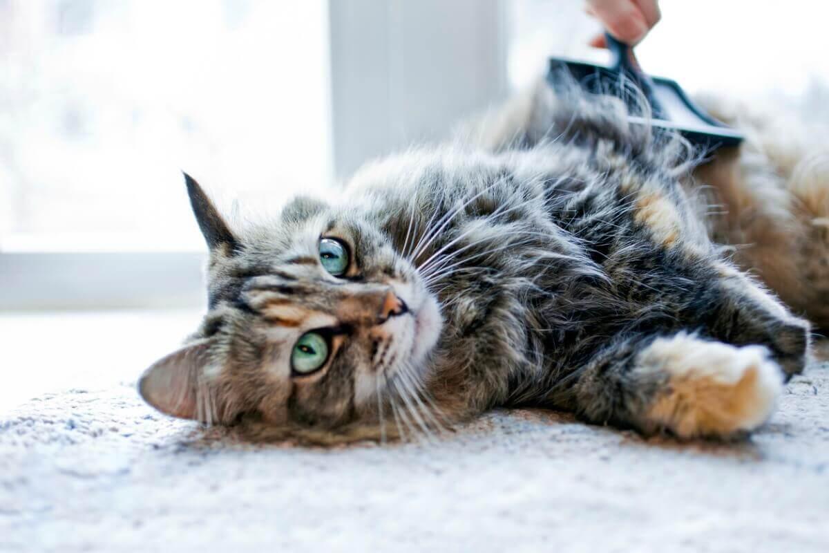 Um gato de pelo comprido deitado.