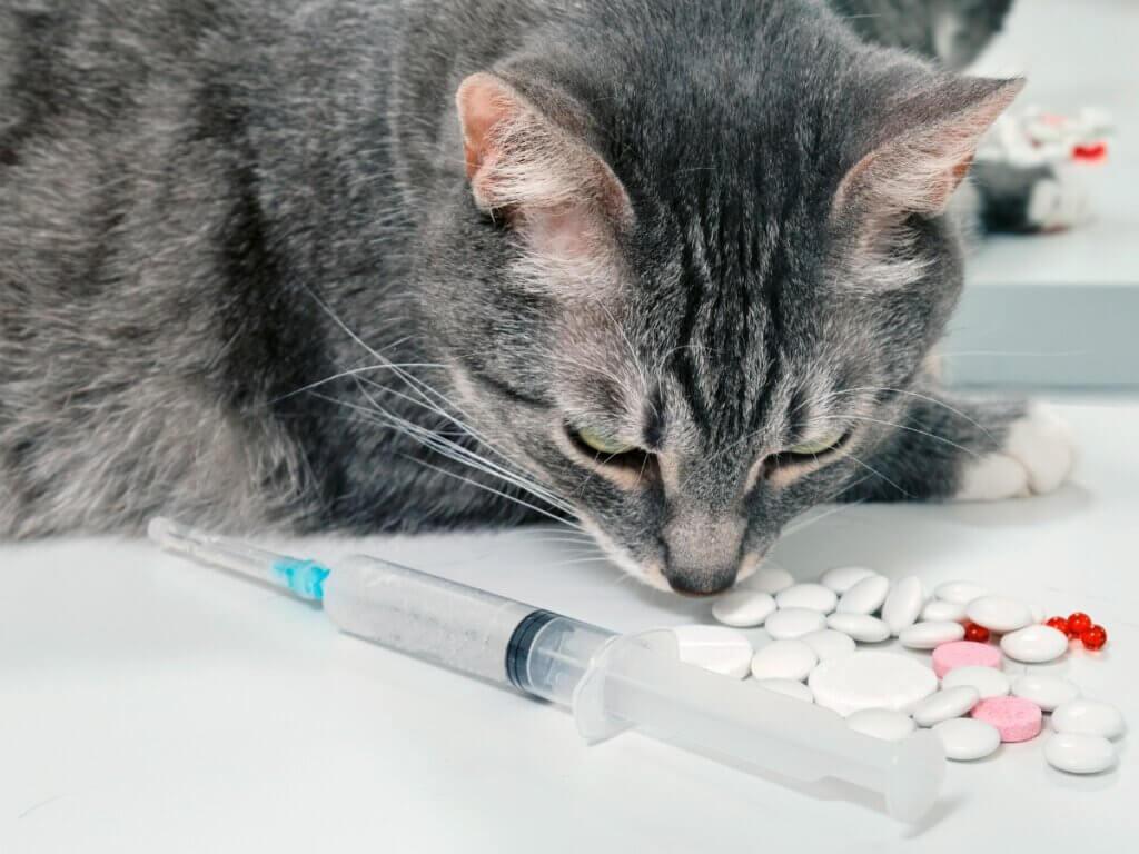 Cefalexina para gatos: usos e efeitos colaterais