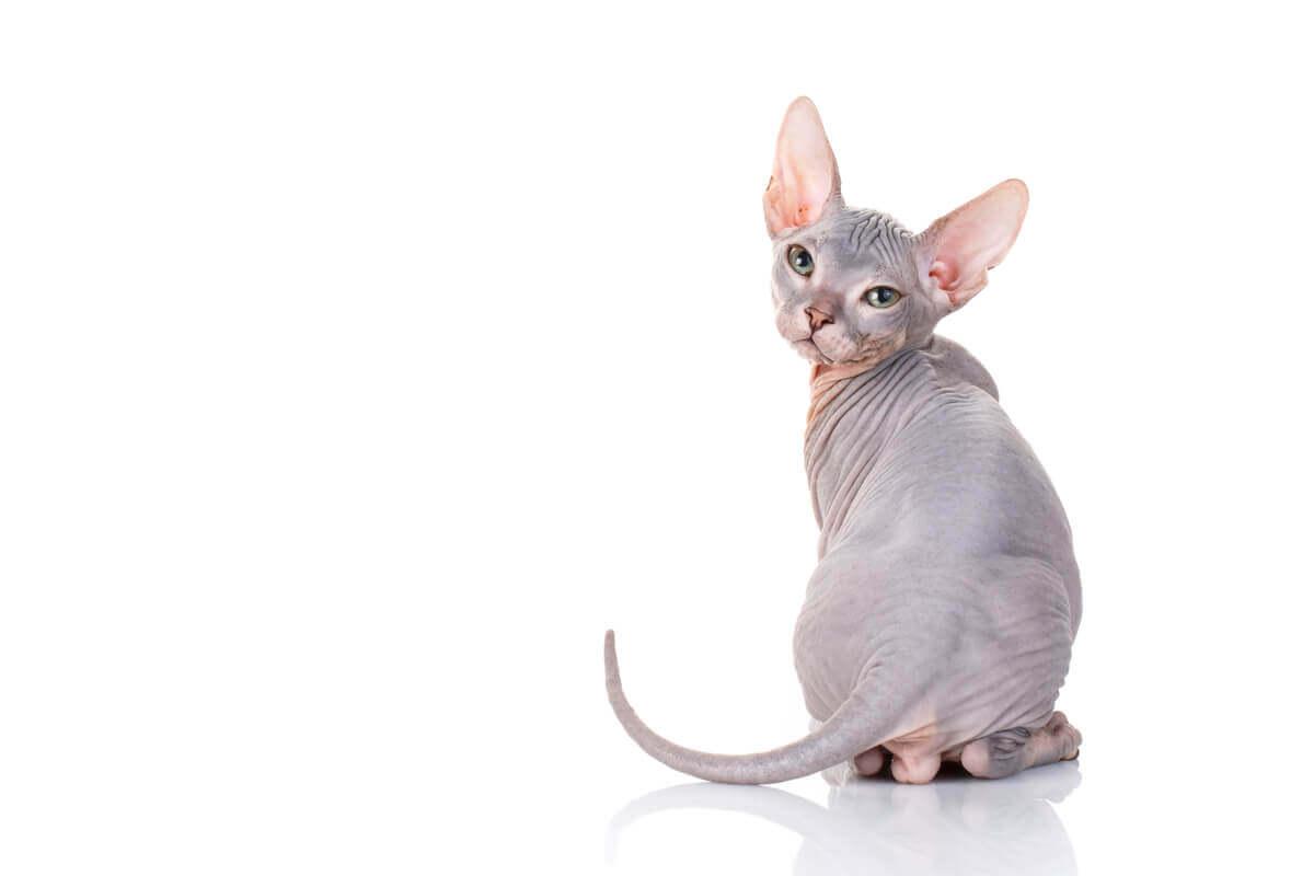 Uma das raças de gatos mais agressivas.