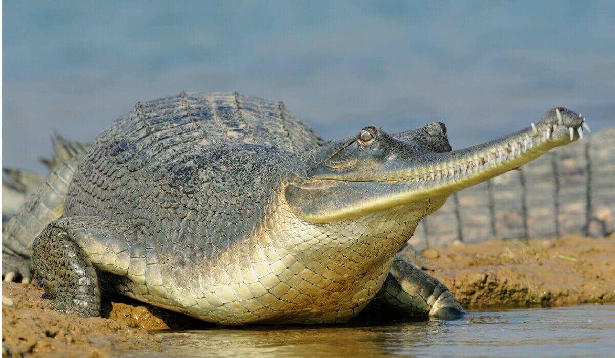 Gavial: um dos tipos de crocodilos