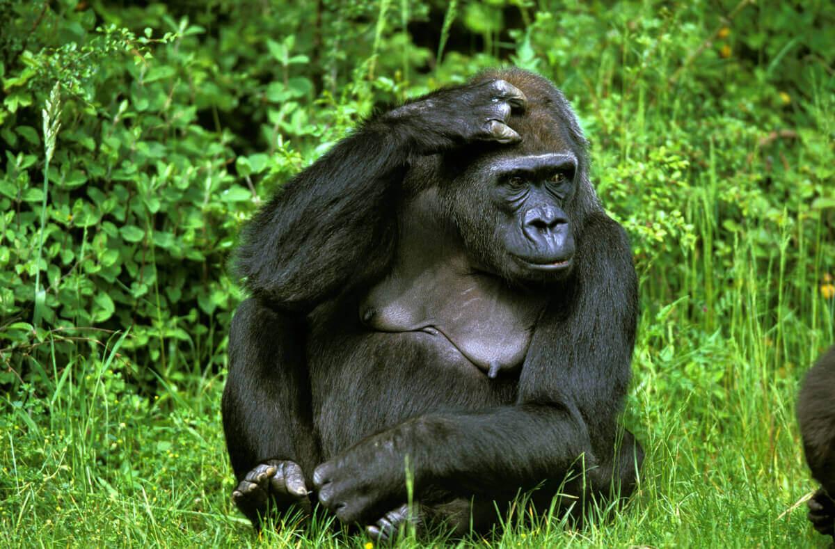 O gorila-do-oriente