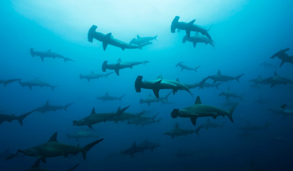 Um grupo de tubarões-martelo.