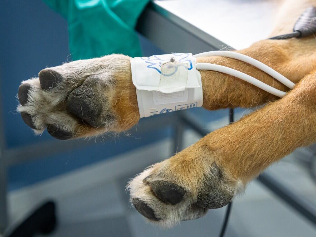 Uma hemodiálise na pata de um cachorro.