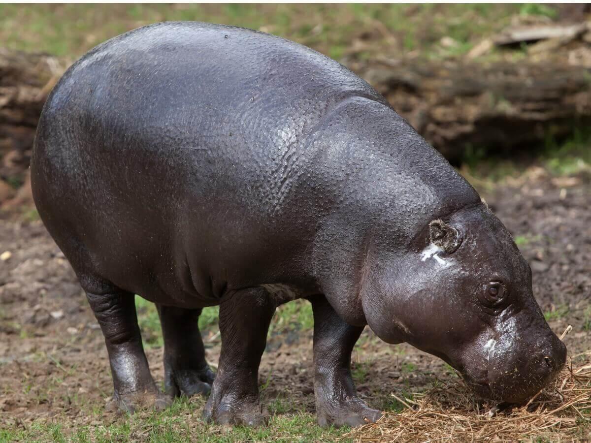 Hipopótamo-pigmeu: um dos mamíferos ameaçados de extinção