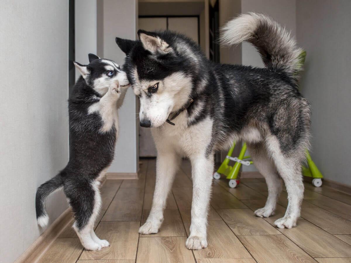 Vários tipos de huskies