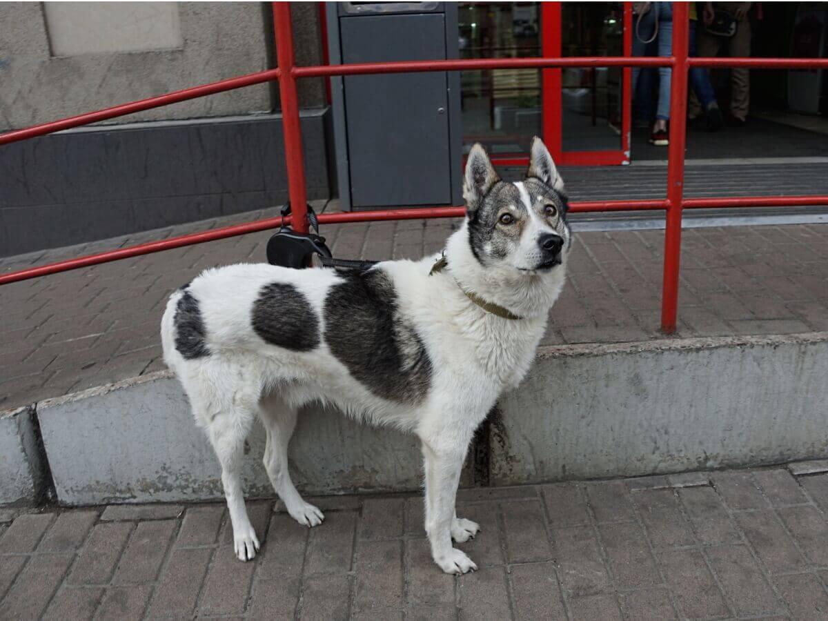 Um dos tipos de huskies
