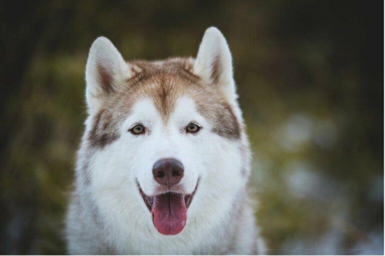 12 tipos de huskies