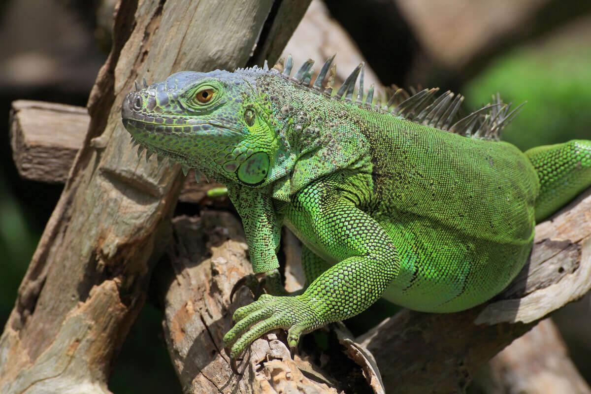 Uma iguana em um galho.