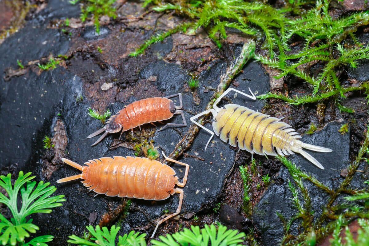 Os isópodes são animais decompositores.