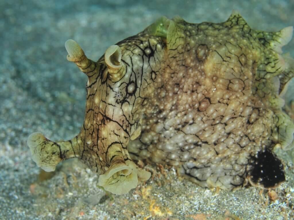 A lebre-do-mar Aplysia dactylomela: habitat e características