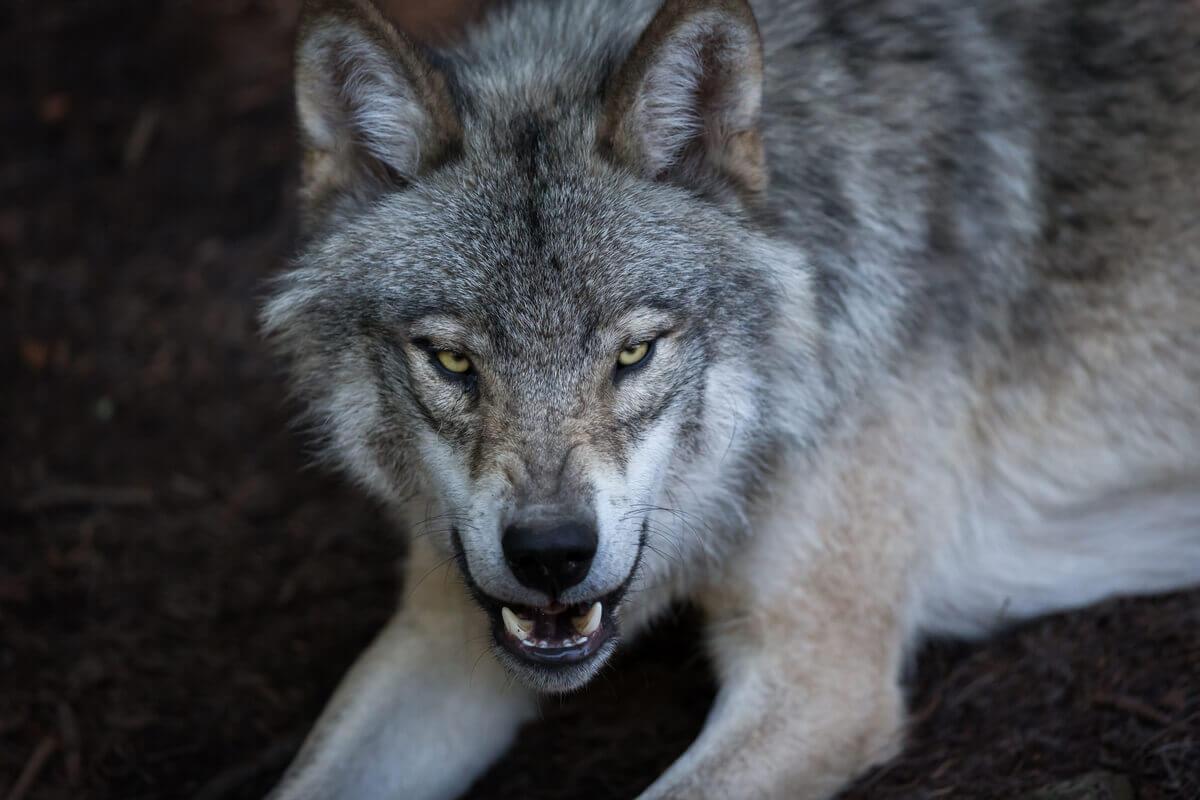 Descubra as diferenças entre lobos raposas e coiotes