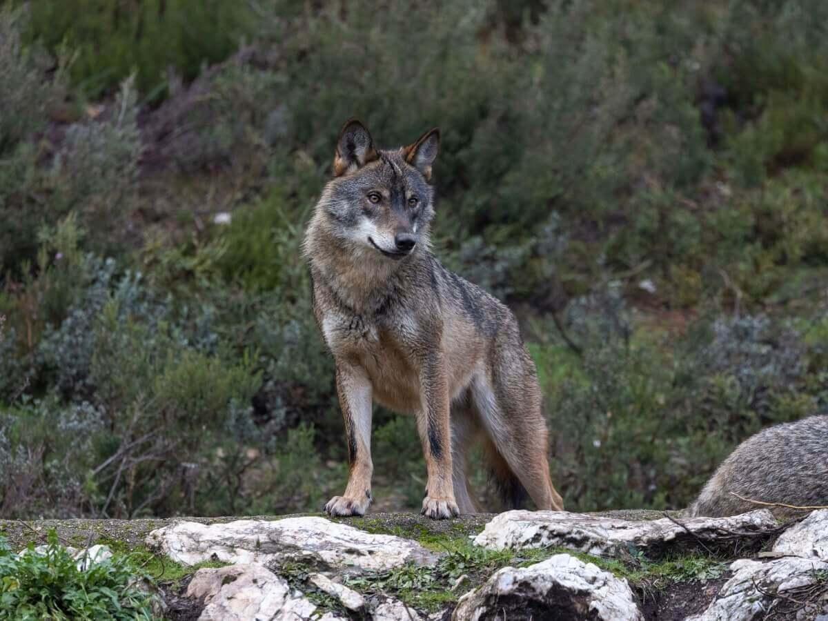 Lobo-ibérico: um dos mamíferos ameaçados de extinção na Espanha