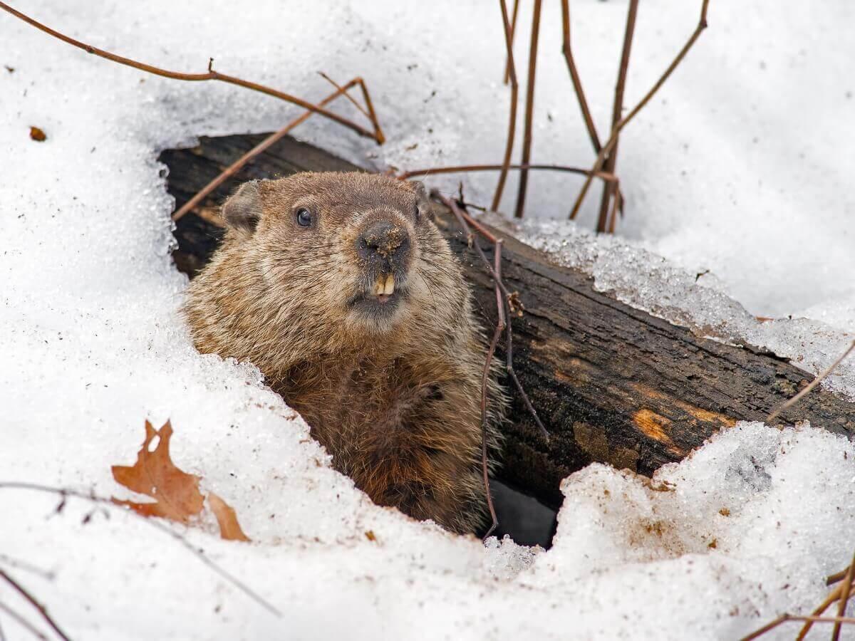 As marmotas são animais que vivem em tocas.