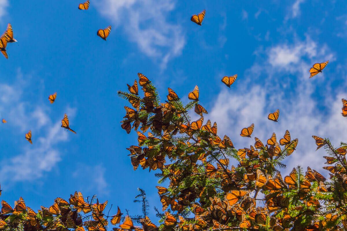 As borboletas-monarca são animais migratórios.