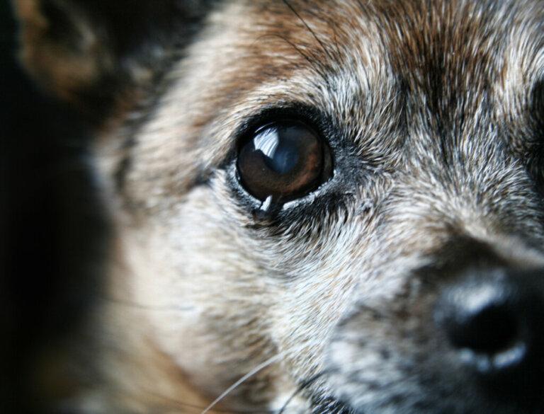 Por que meu cachorro não para de chorar?
