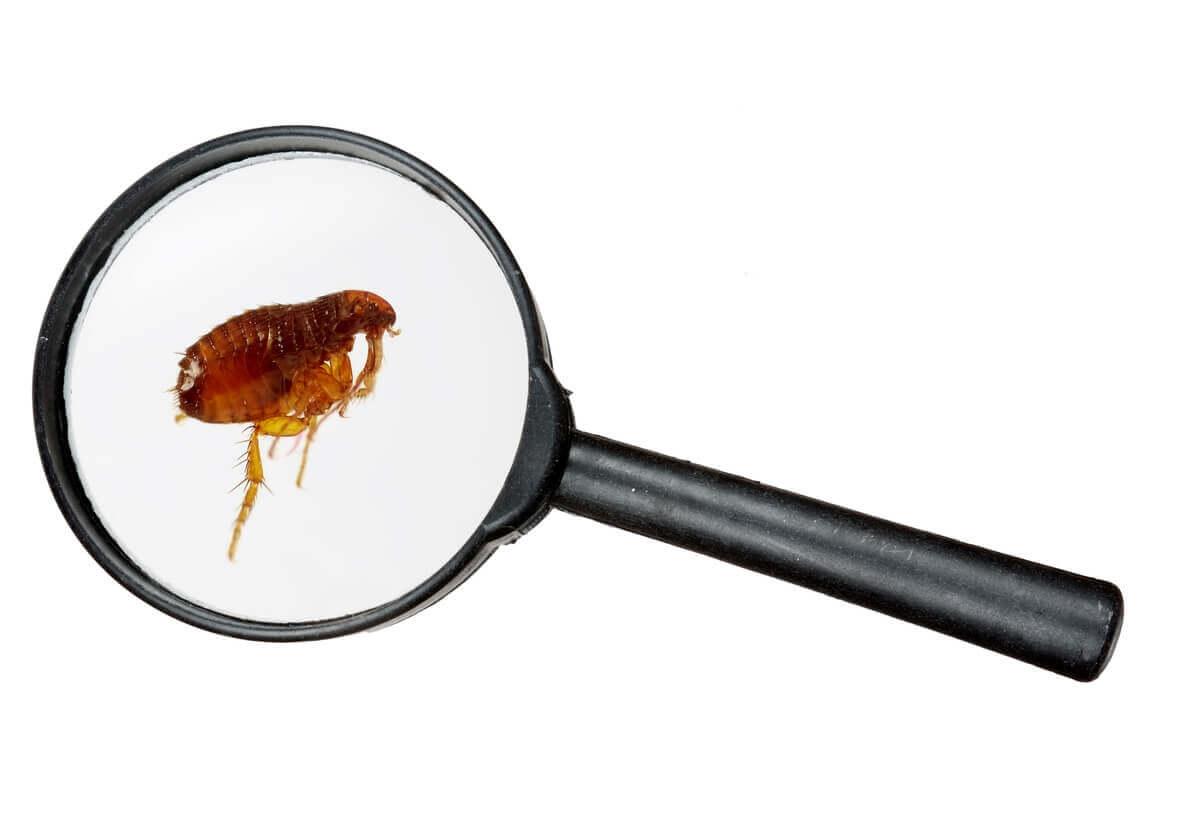 As pulgas são animais que vivem escondidos em casa.