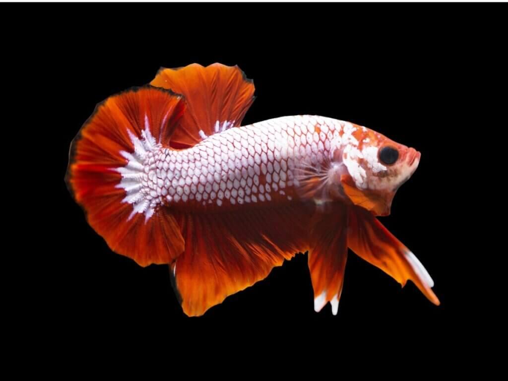 Peixe-betta dragon: habitat, características e cuidados