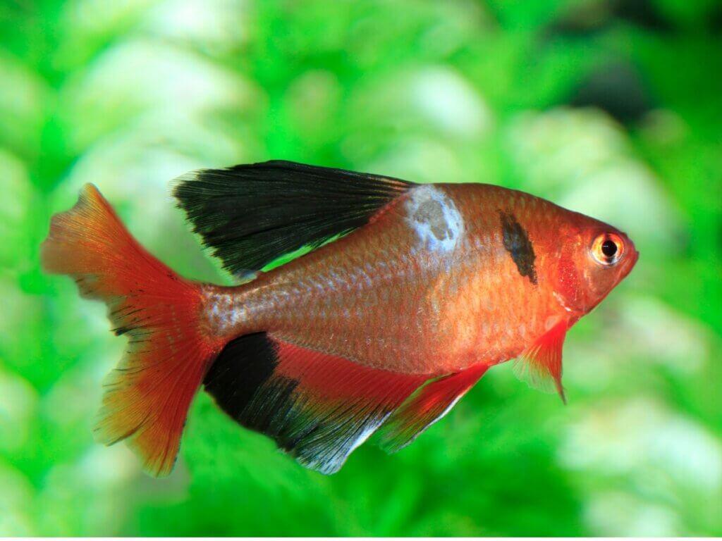 Fungos em peixes: tipos, sintomas e tratamentos