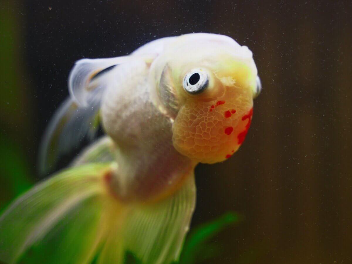 Um peixe doente com fungos.