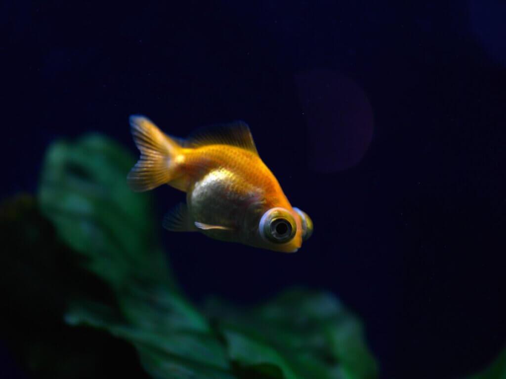 Exoftalmia em peixes: tudo que você precisa saber