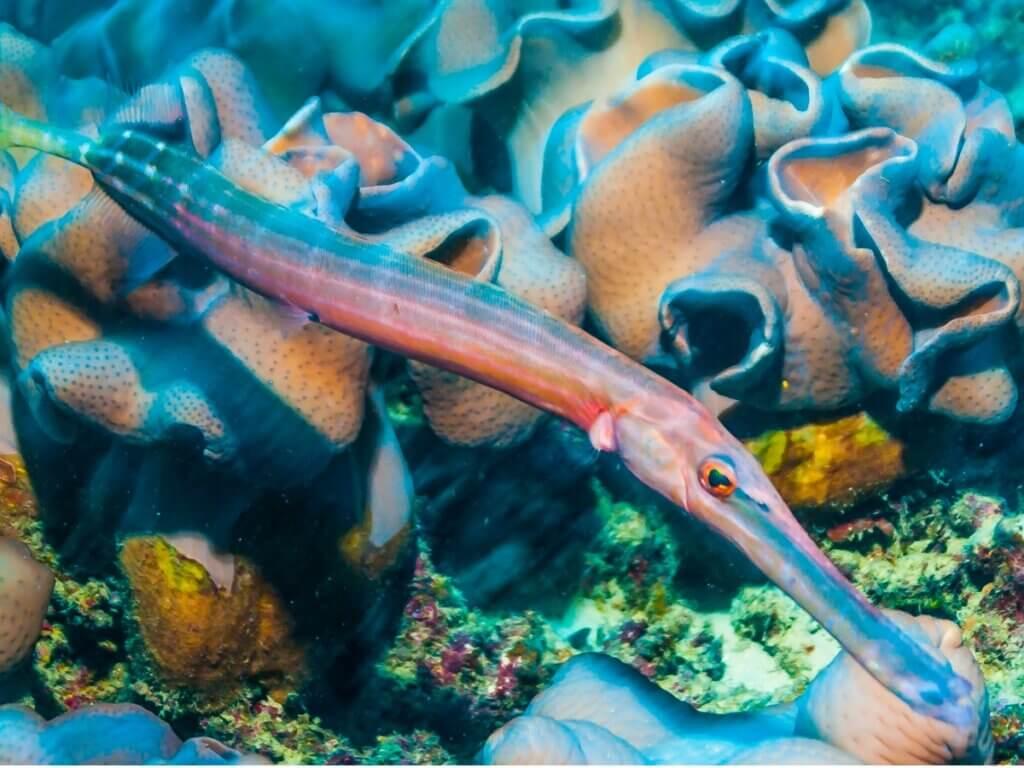 Peixe-trombeta: habitat e características