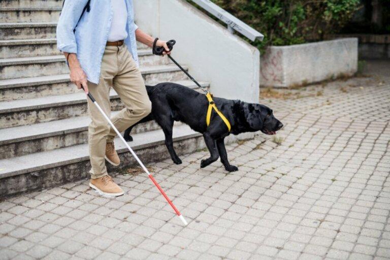 Treinamento do cão-guia: como fazer?