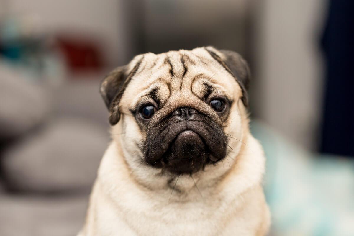 Pugs são um exemplo de endogamia em animais de estimação.