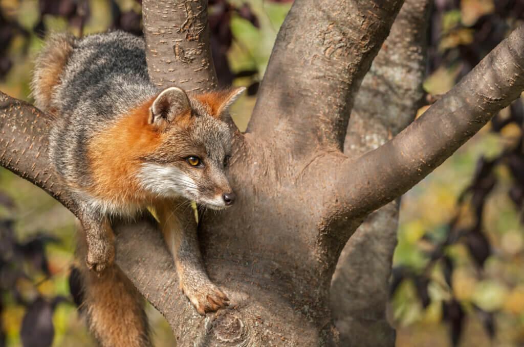 Diferenças entre lobos, raposas e coiotes
