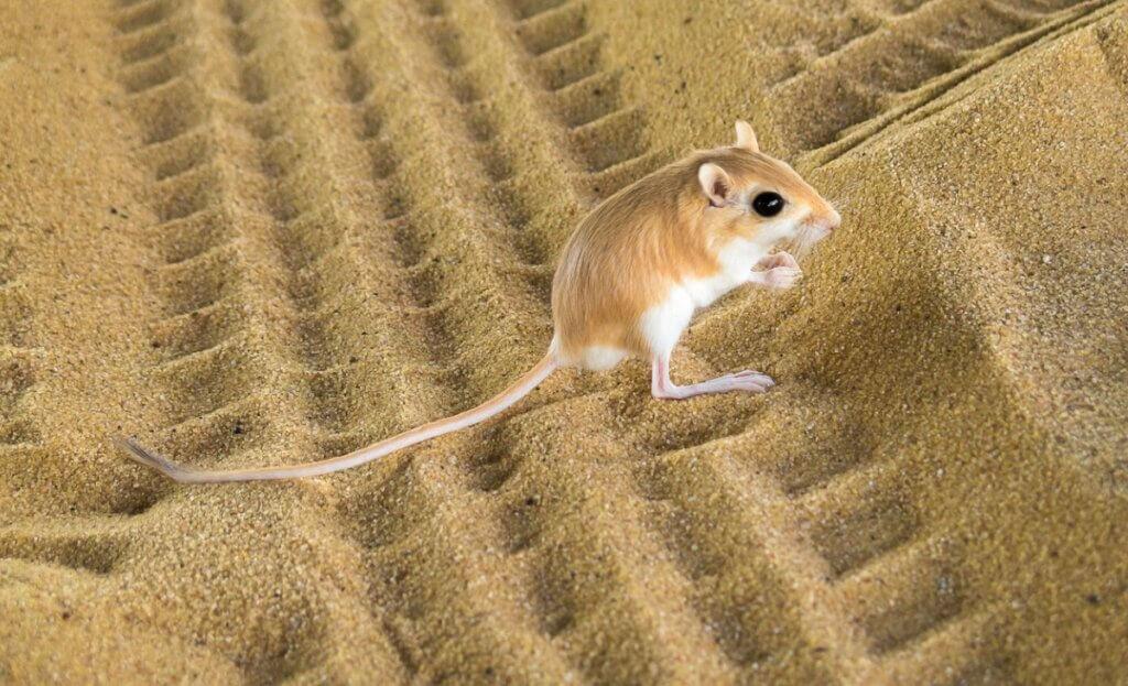 Rato-canguru: habitat e características
