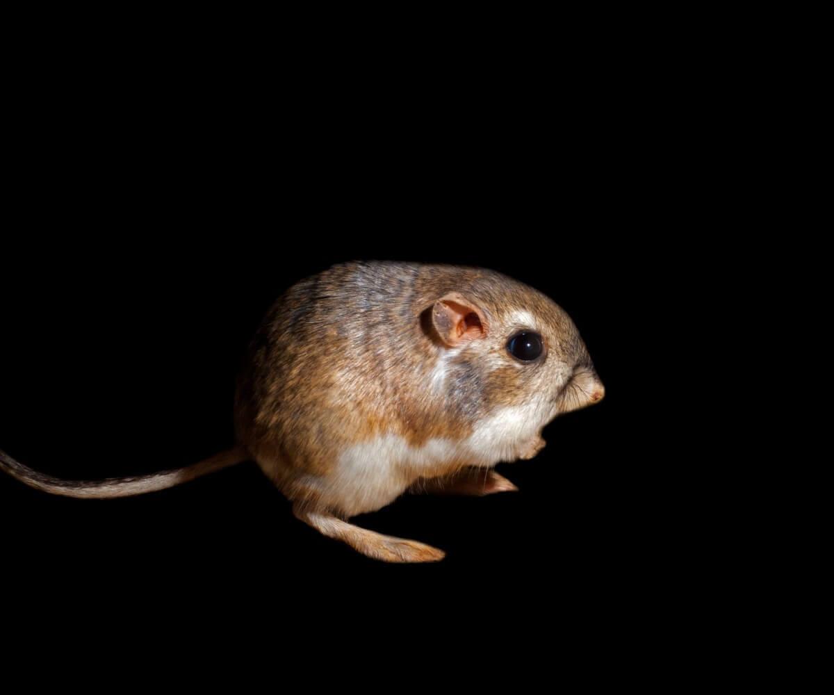 Um rato-canguru do gênero Dipodomys.