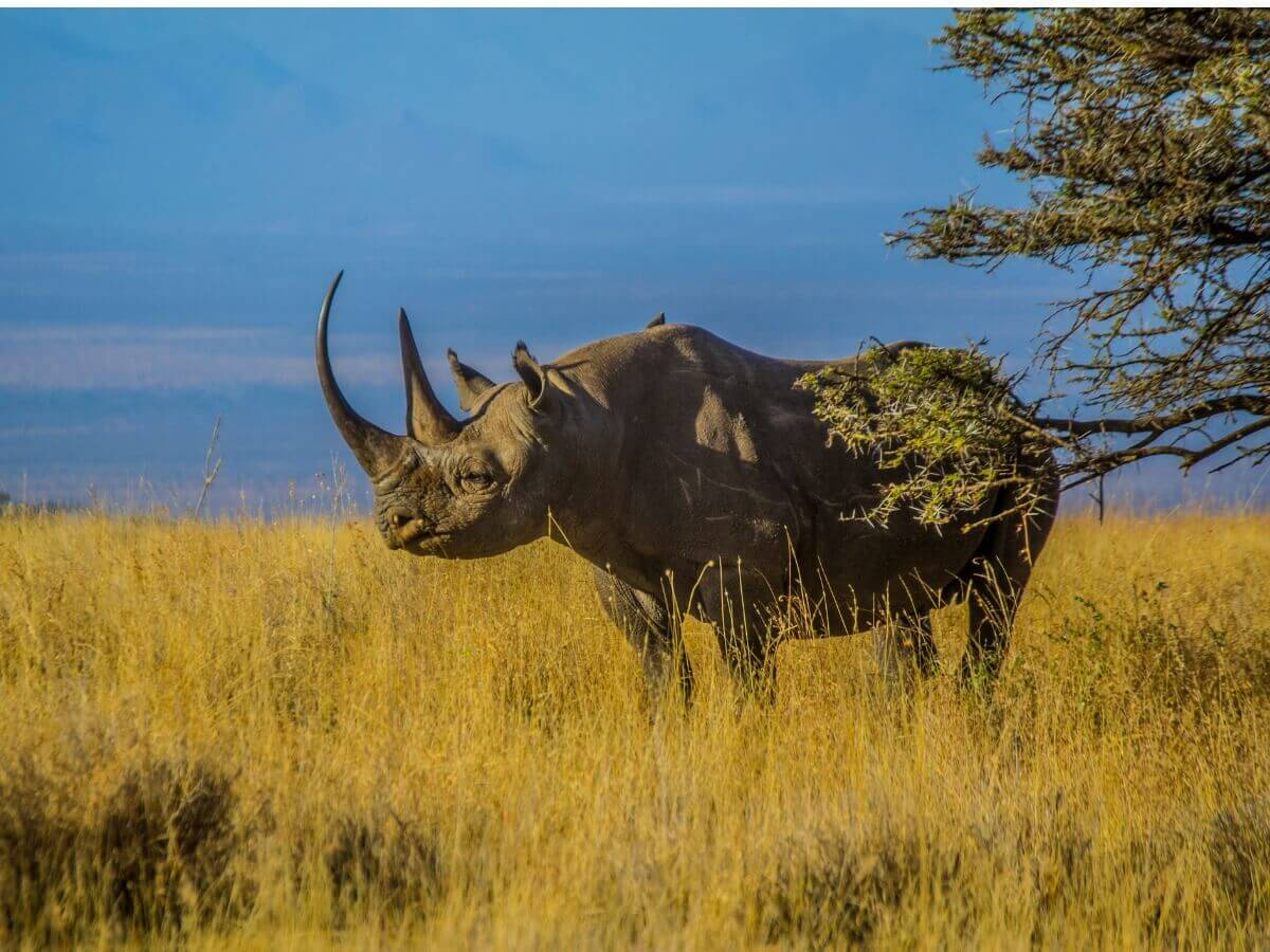 O rinoceronte-negro: um dos mamíferos ameaçados de extinção