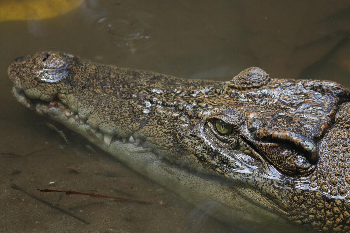 O rosto de um crocodilo.