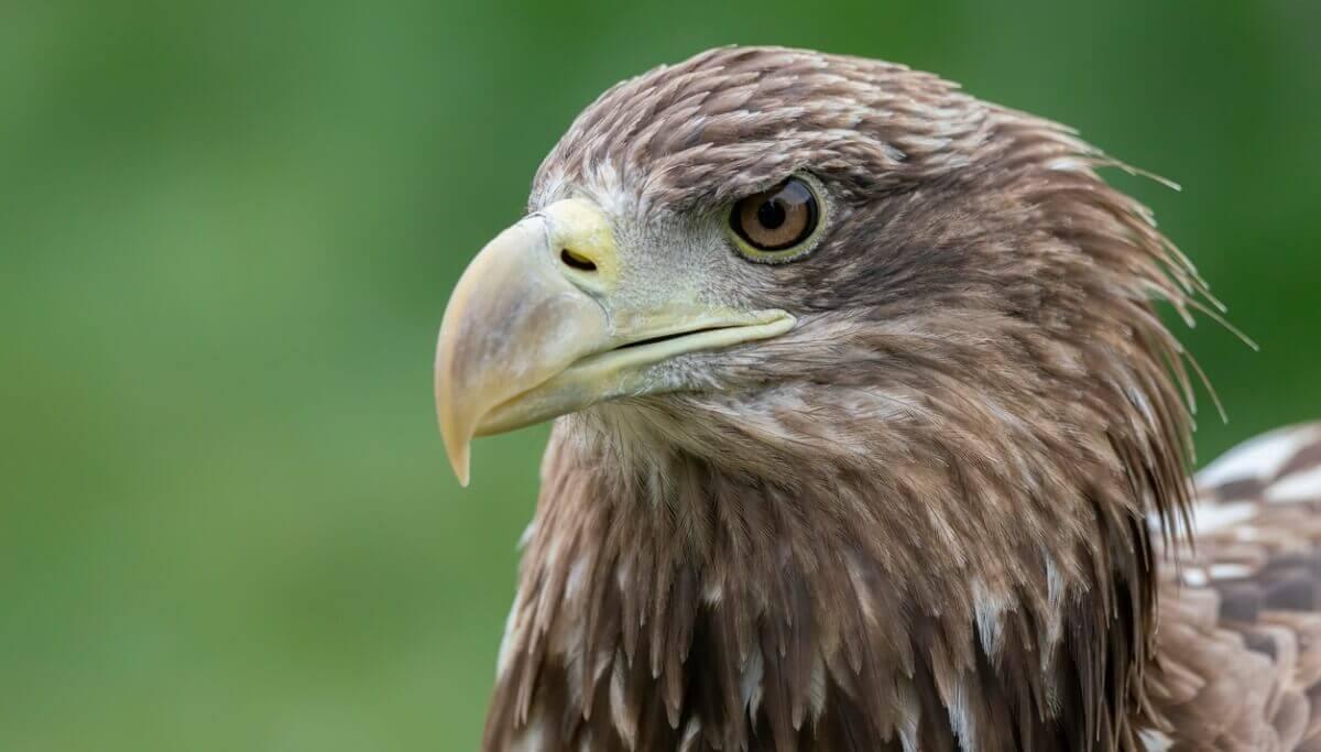 O rosto de uma águia-rabalva.