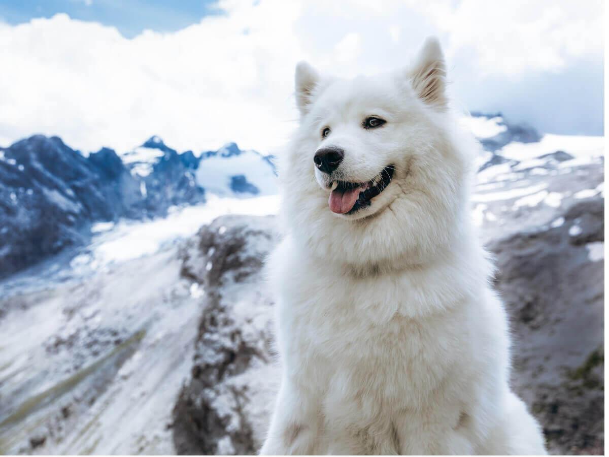 Samoieda: confundido com um dos tipos de huskies