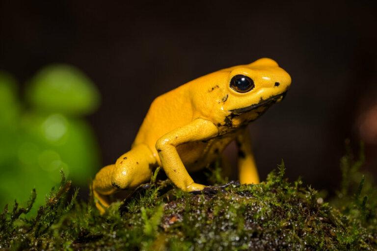Anfíbios mais ameaçados de extinção