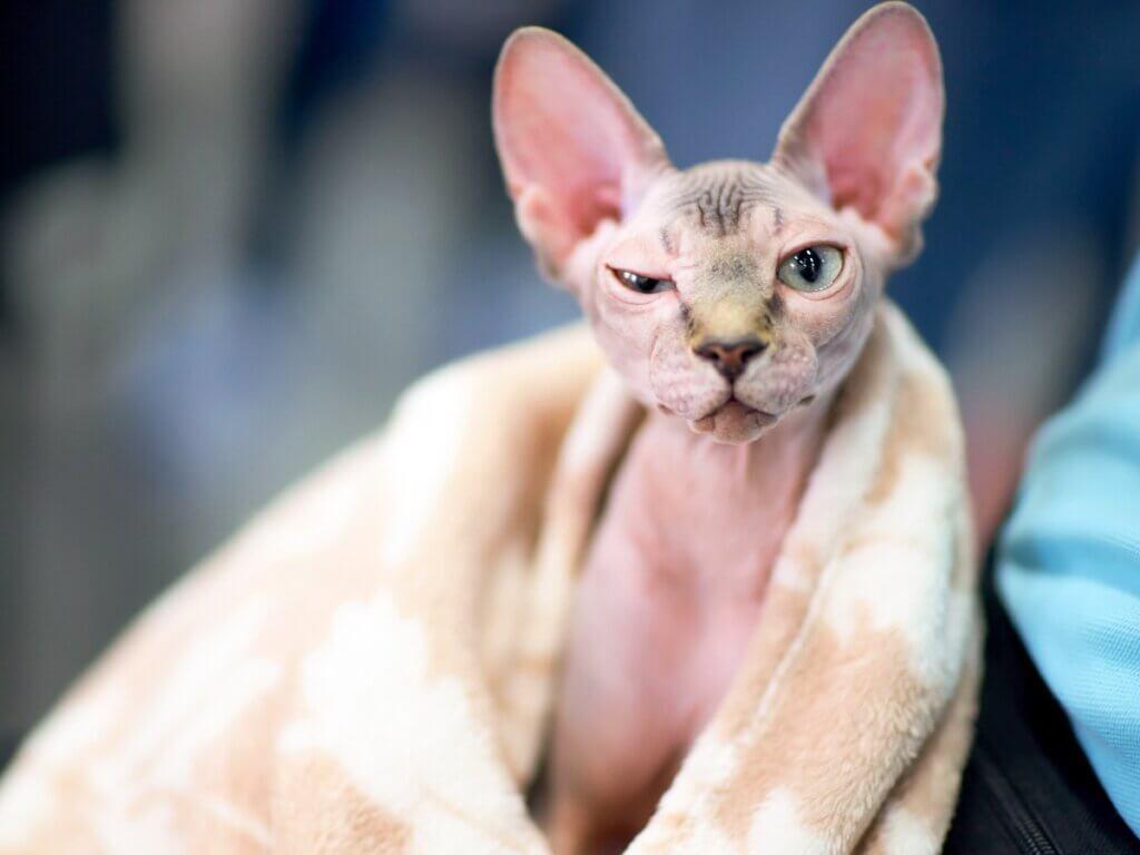 Como dar banho em um gato sphynx ou sem pelo?
