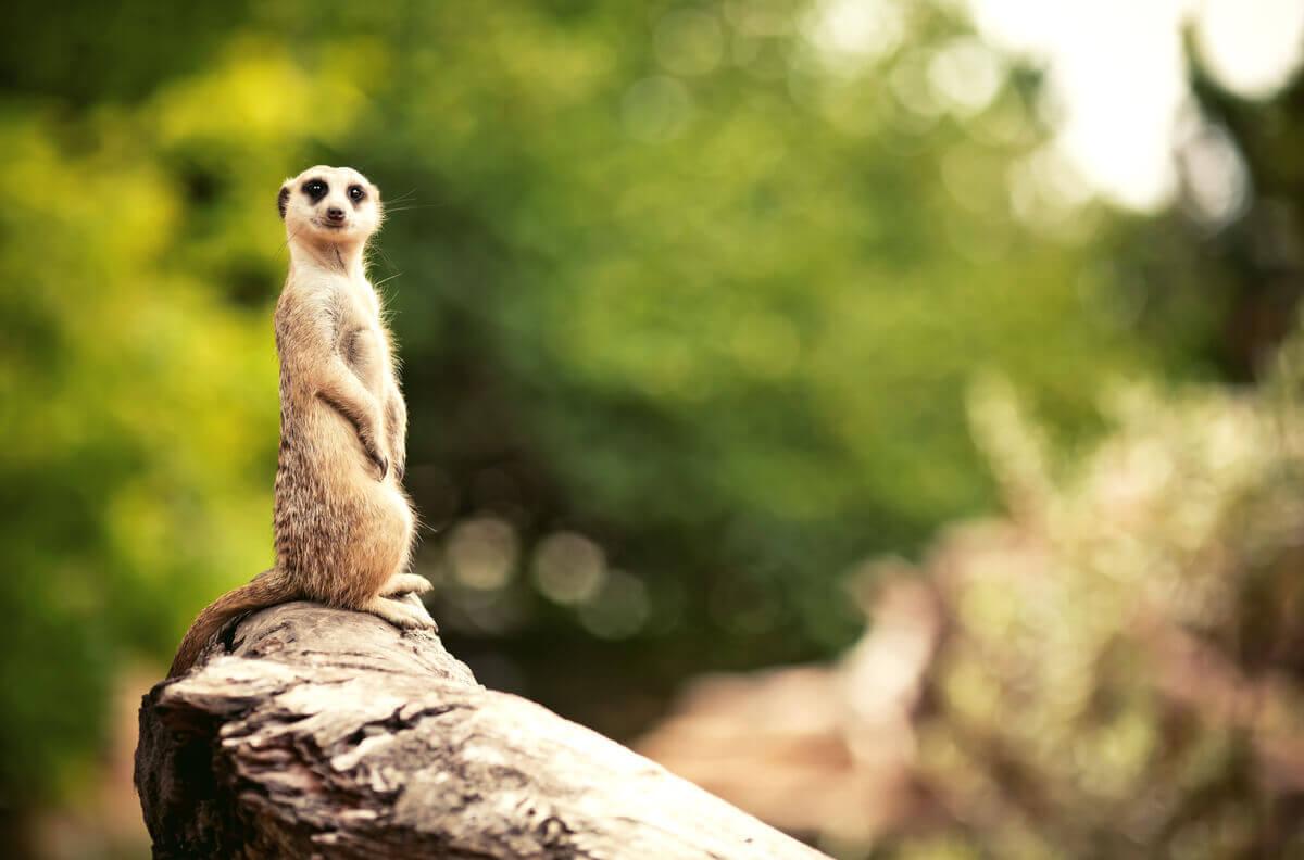 Os suricatos são animais que vivem em tocas.