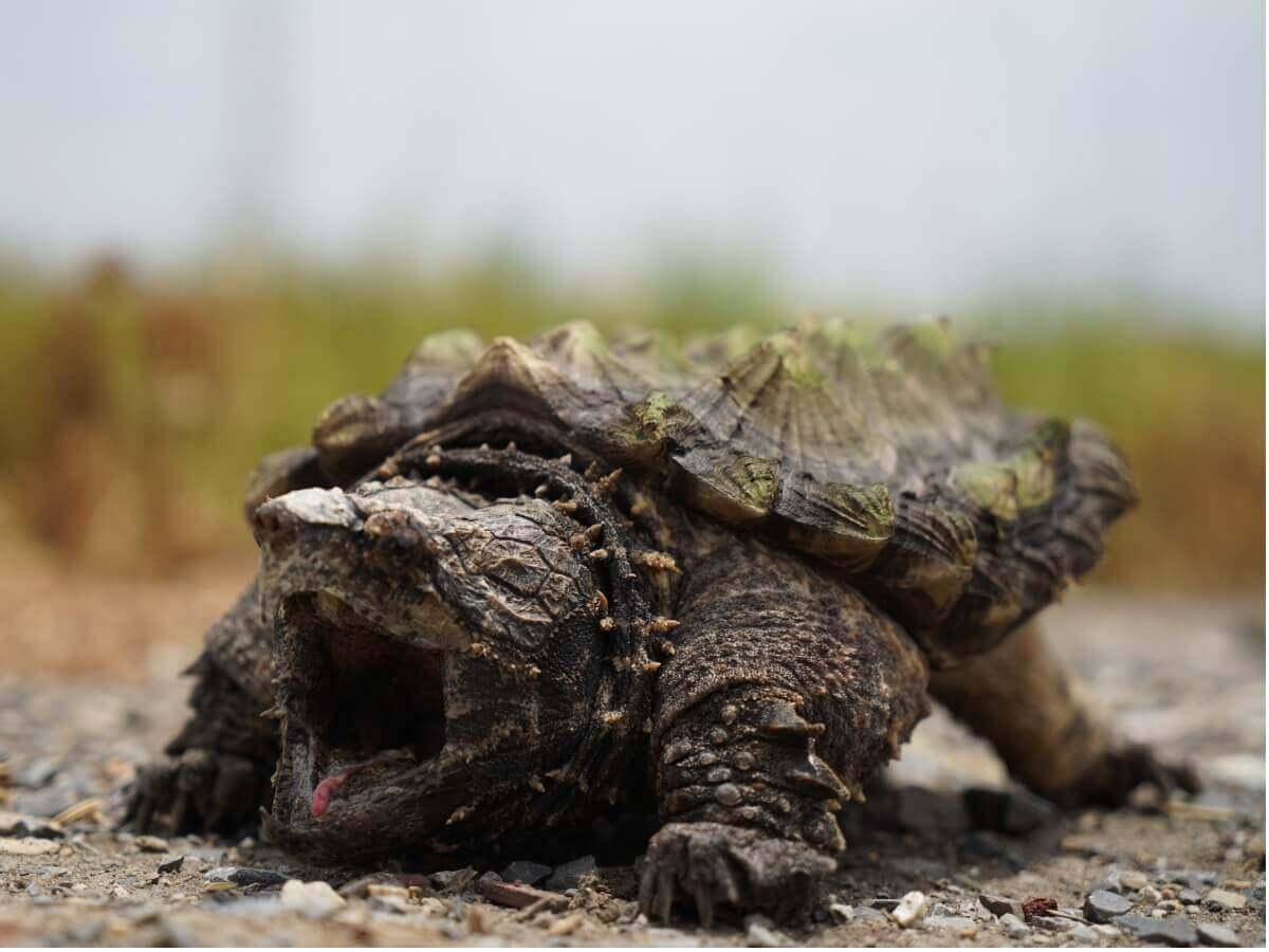 Uma tartaruga-alugátor com a boca aberta.