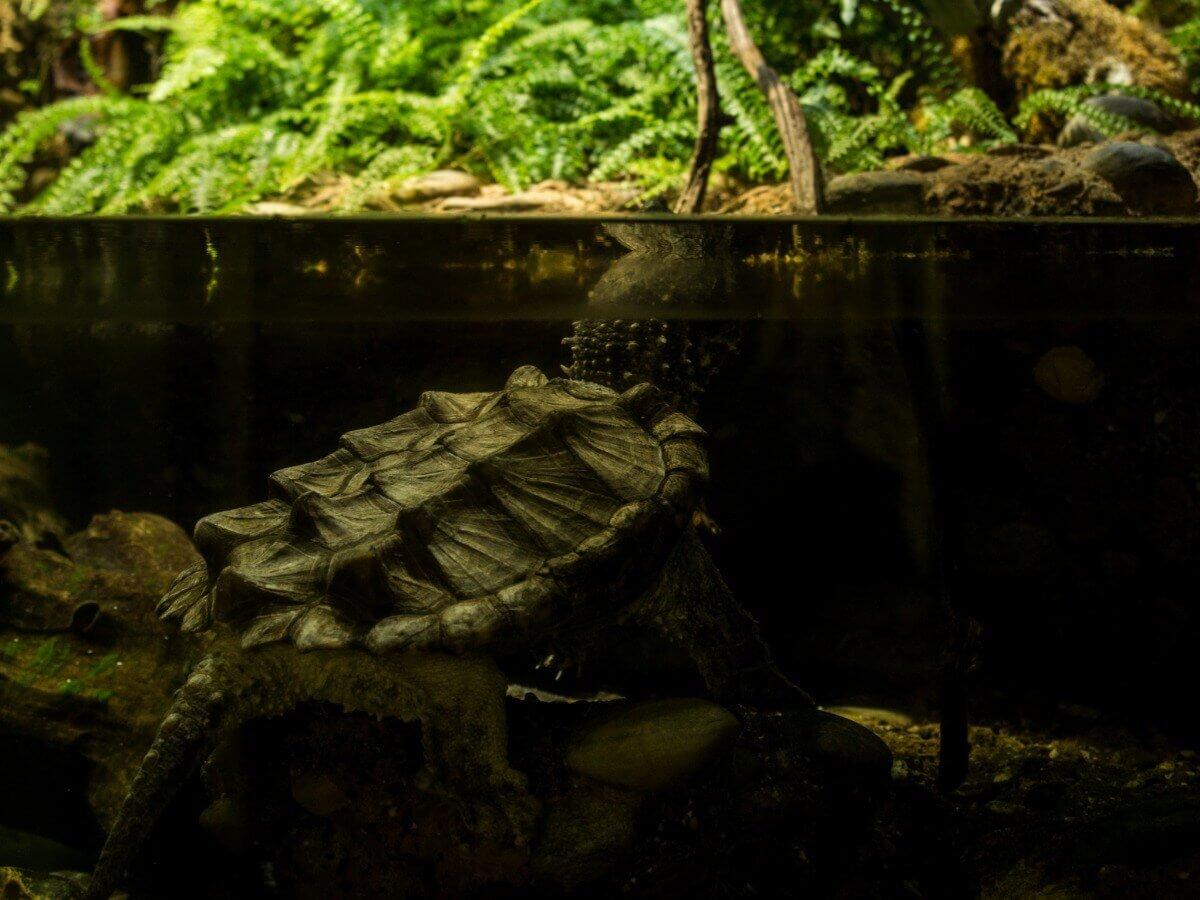 Uma tartaruga-aligátor em um aquário.