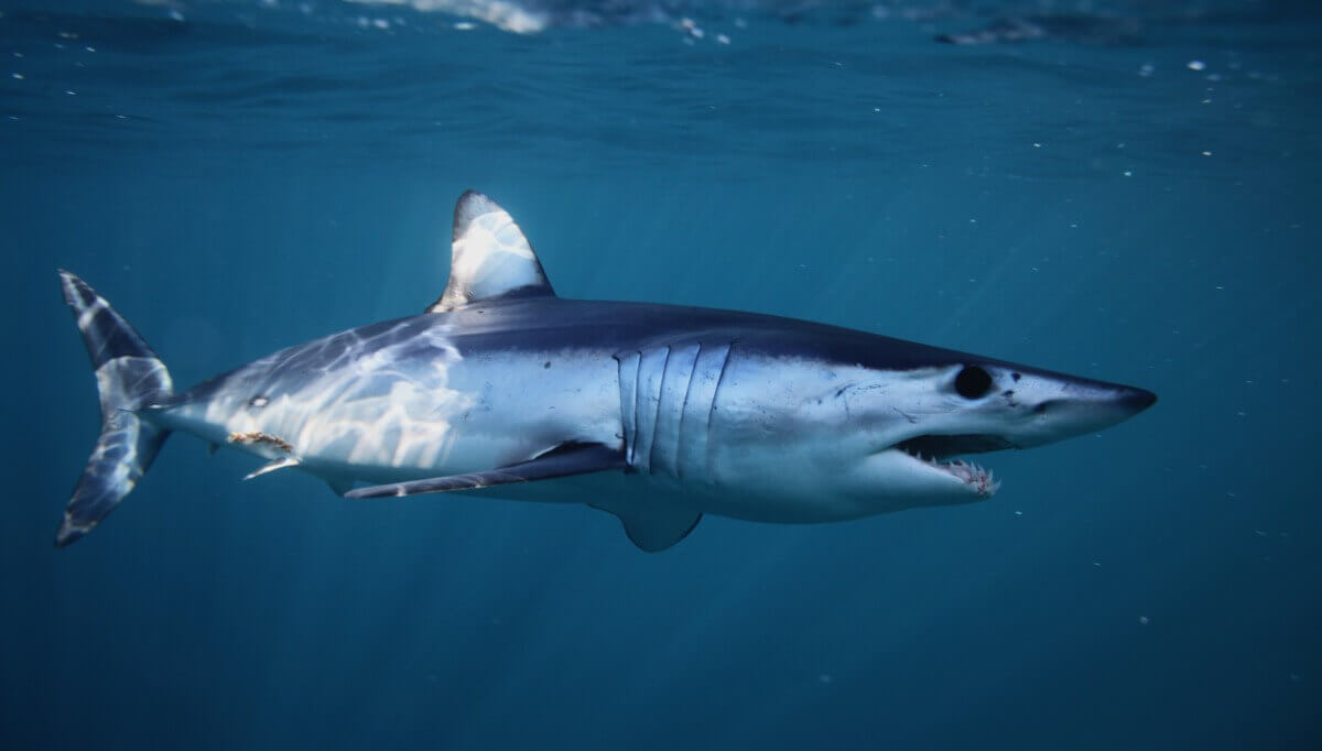 Peixes cartilaginosos: tubarões