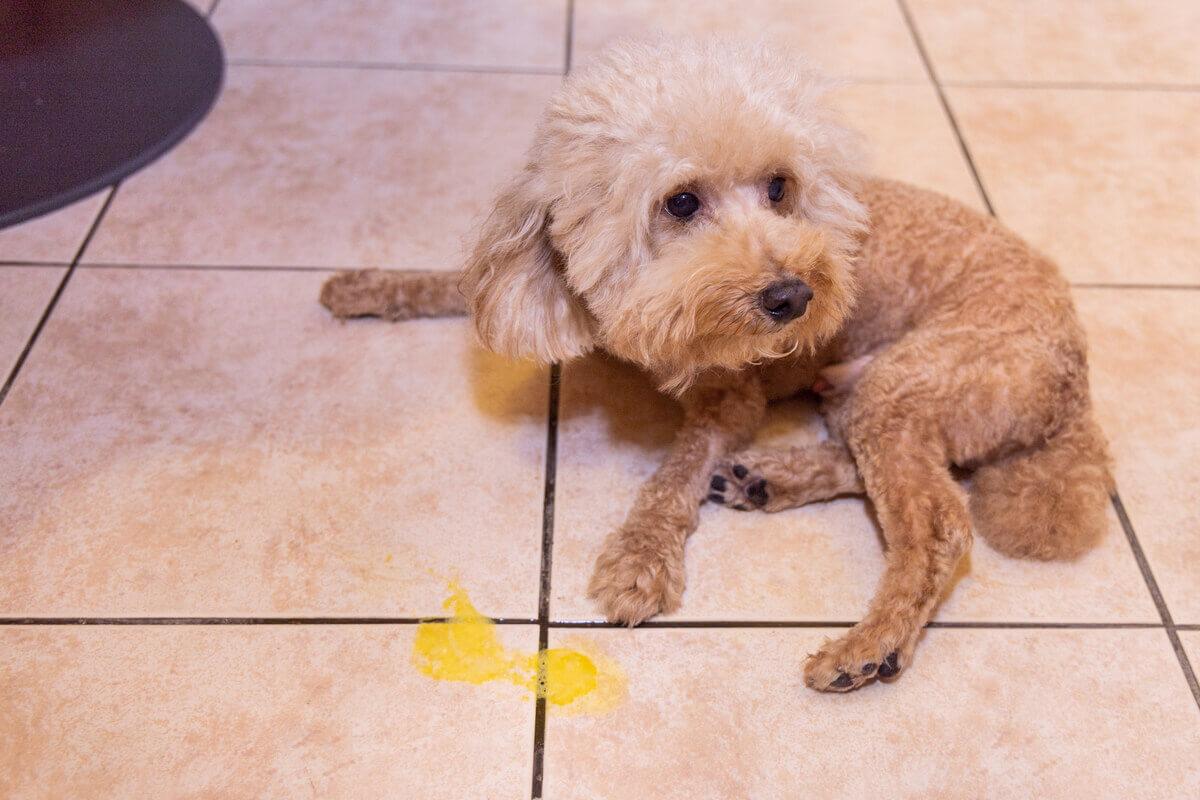 Vômito amarelado de um cachorro.