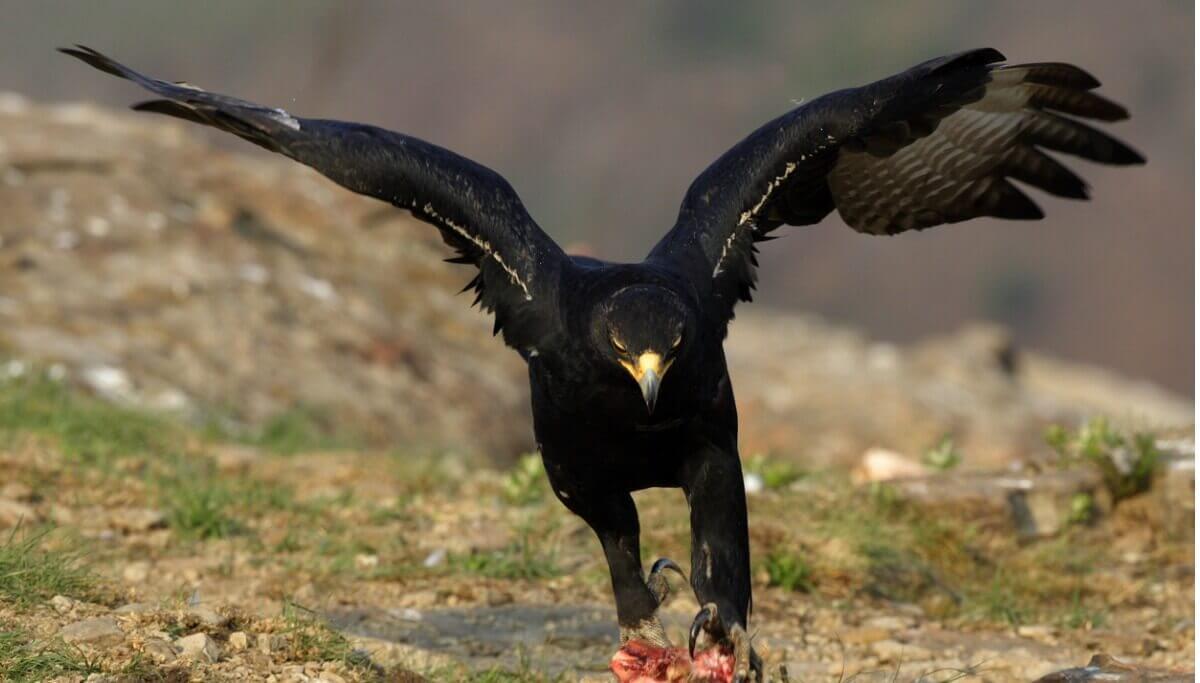 Uma águia-negra-africana pousando no solo.