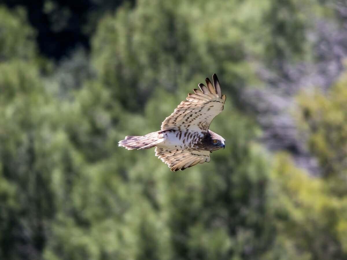 Uma águia-perdigueira voando.