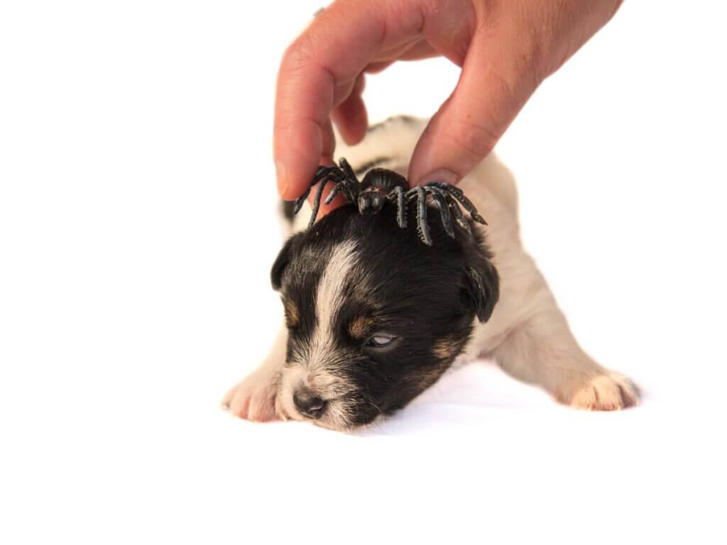 Picada de aranha em cães: o que fazer?