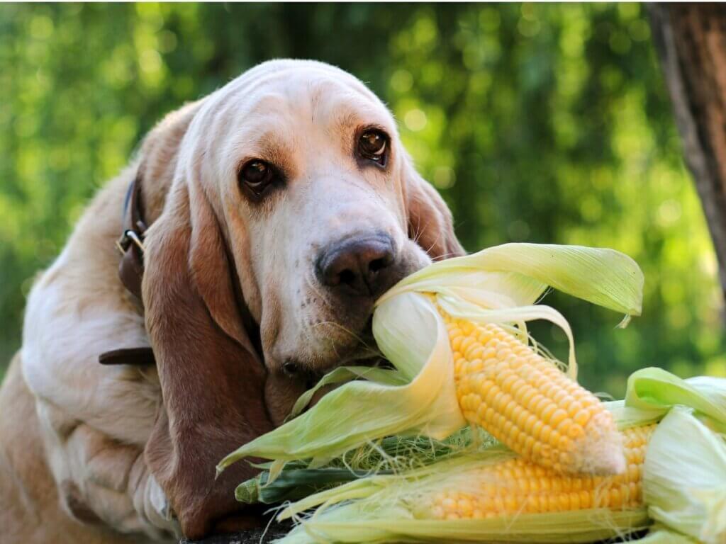 Os cães podem comer milho?