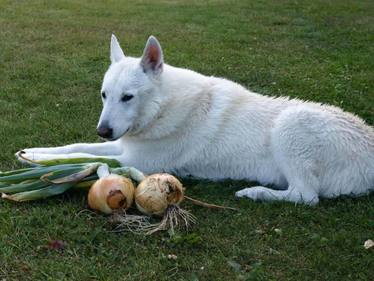 Um cachorro comendo uma cebola.