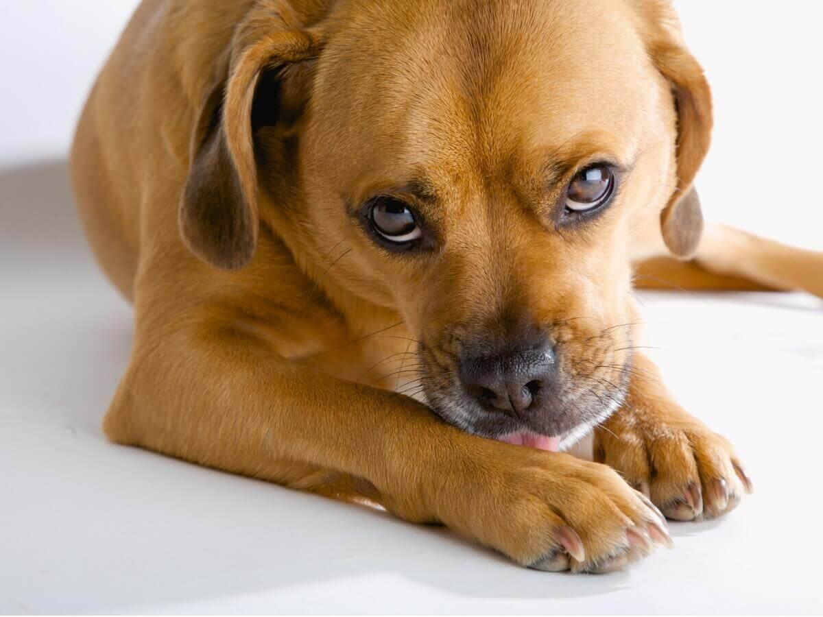 Por que meu cachorro lambe as patas o tempo todo?