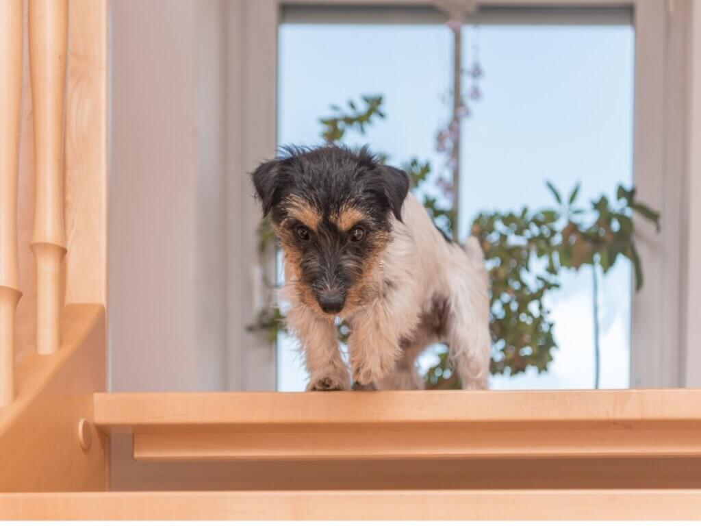 Meu cachorro tem medo de escada: causas e como agir