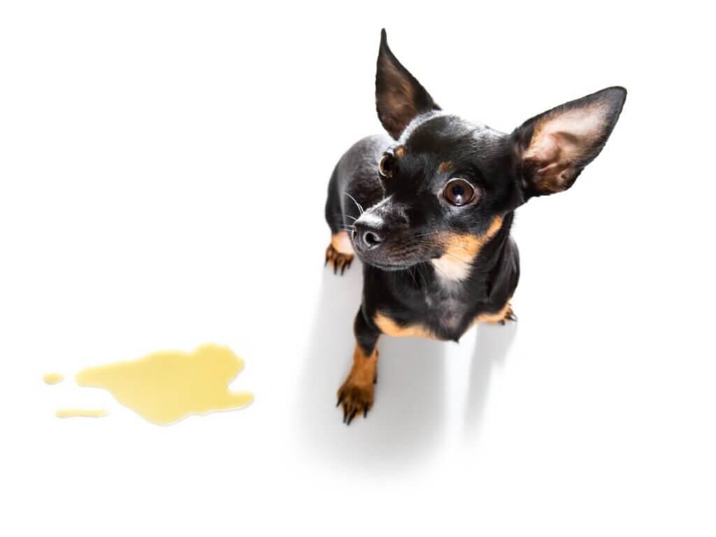 Cristais na urina dos cães: sintomas, tipos e tratamento